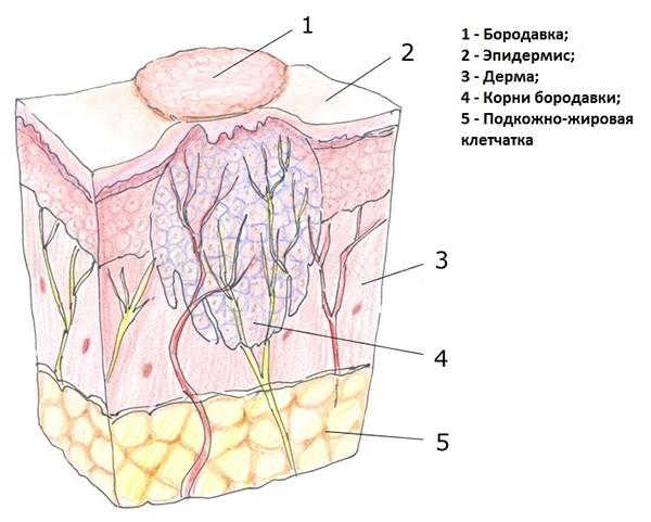 строение шипицы